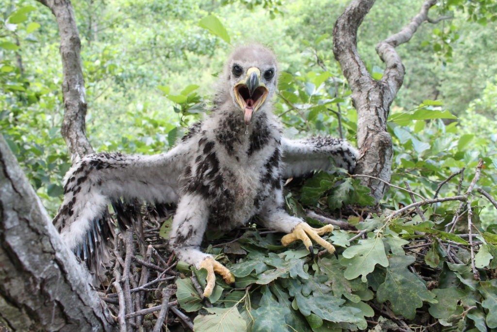 Greater Spotted Eagle chick APB-BirdLife Belarus Archive