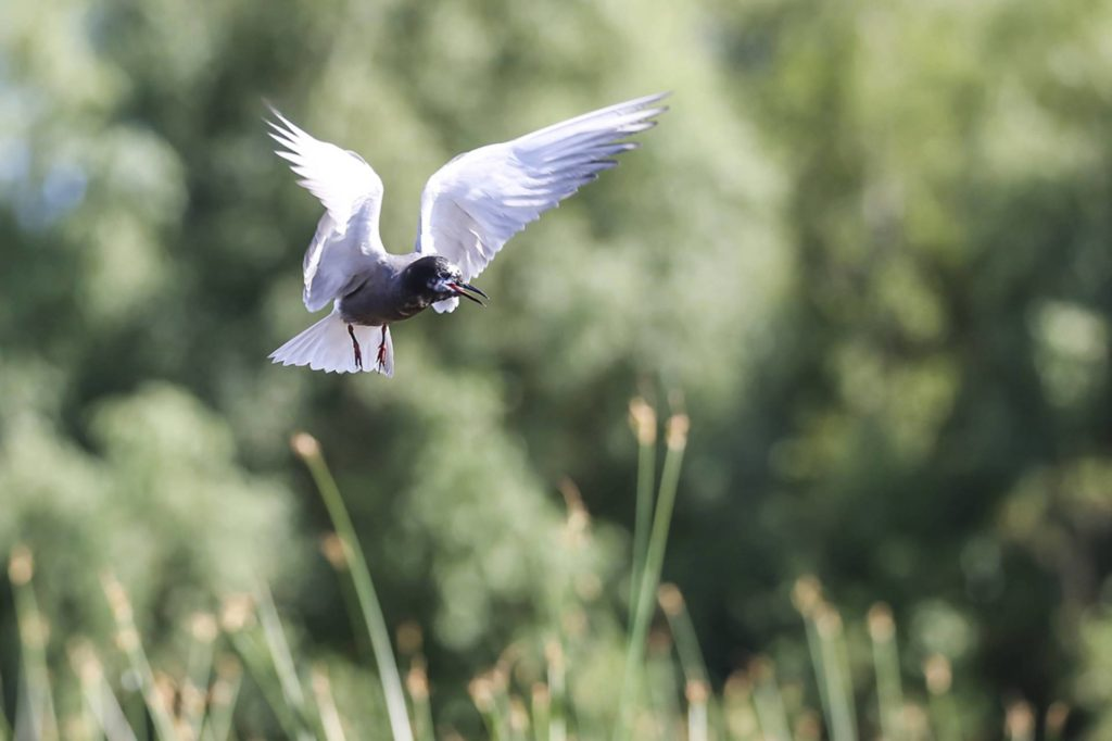 Belarus_birds_Black-tern_Siarhei Zuyonak
